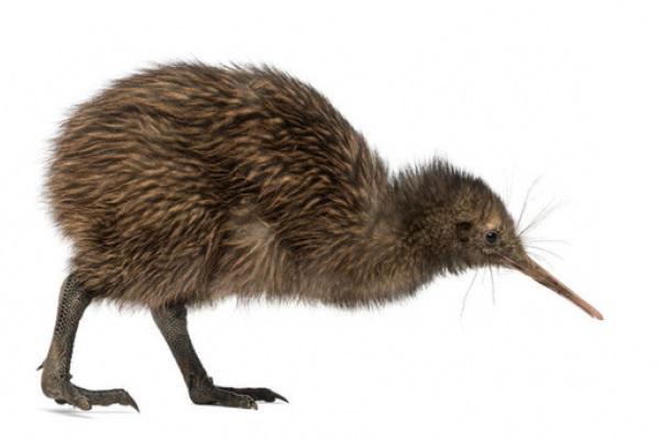 kiwi uccello