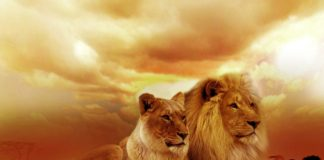 Safari in Kenya alla scoperta dei leoni
