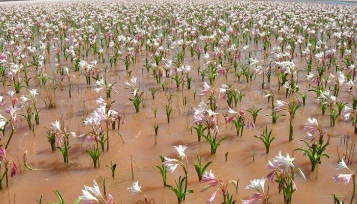 gigli in fiore nel deserto della Namibia